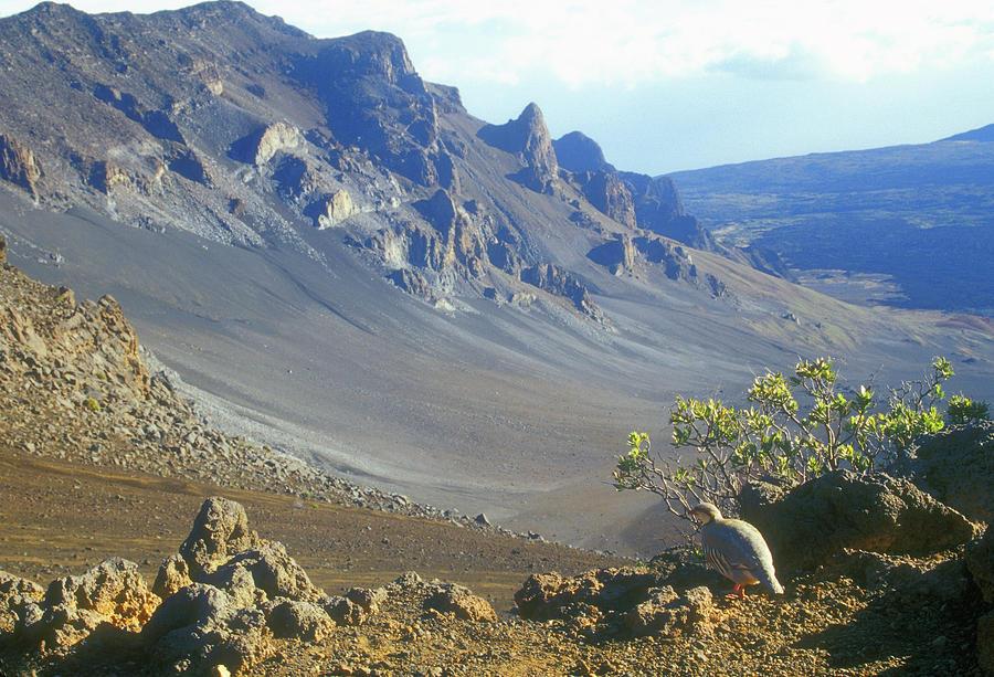 Hawaii Photograph - Haleakala Volcano And Chukar Maui Hawaii by John Burk