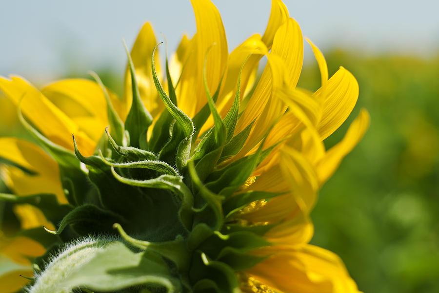 Closed Photograph - Half Sunflower by Georgia Fowler