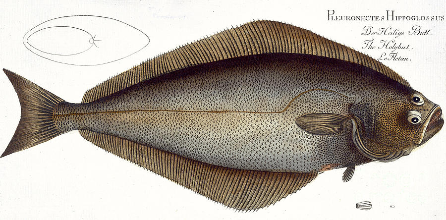 Fish Painting - Halibut by Andreas Ludwig Kruger