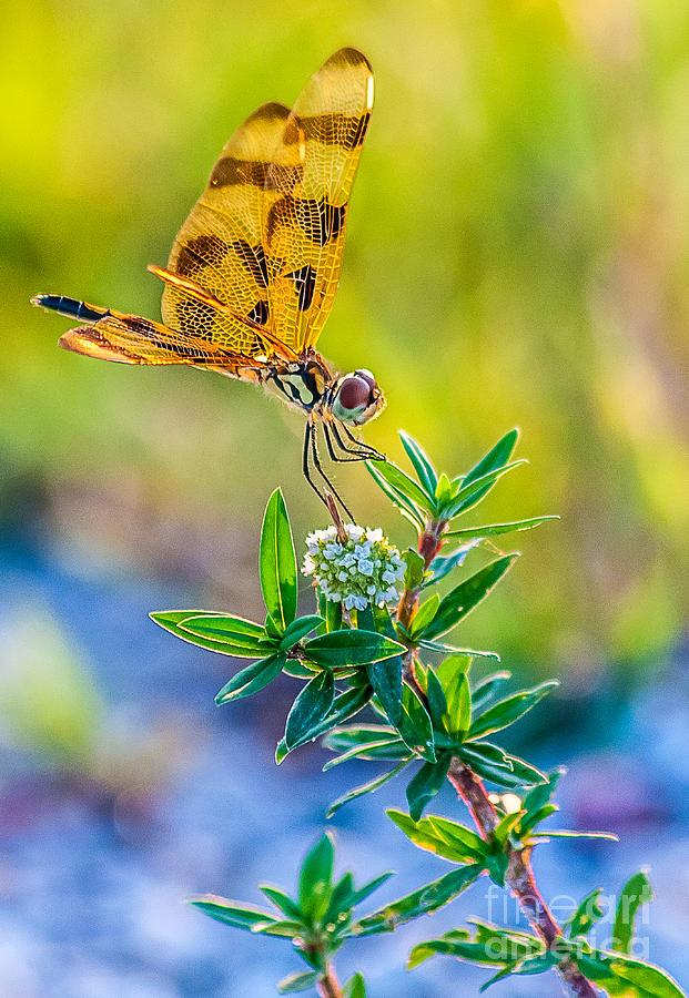 Wetlands Digital Art - Halloween Banner Dragonfly 0762 by Shawn Lyte