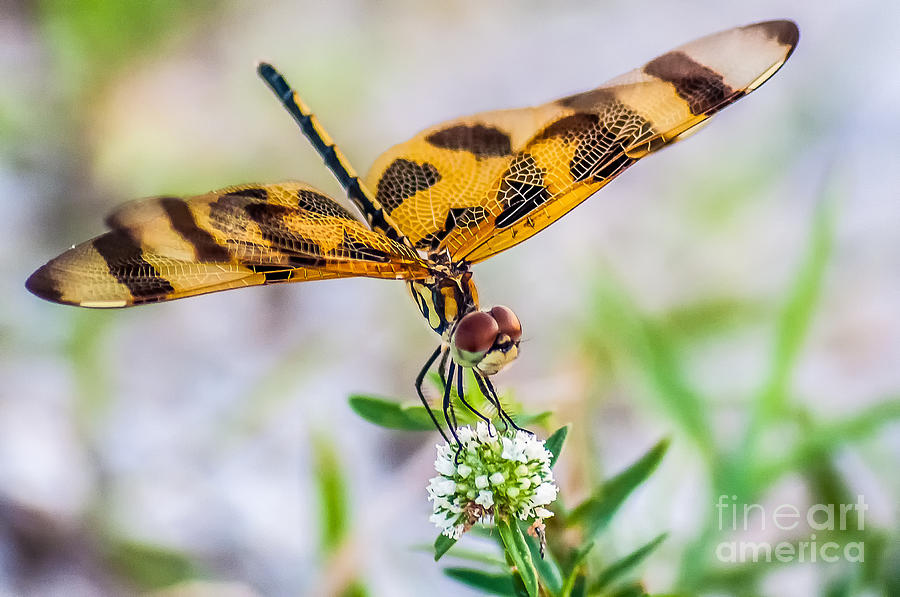 Photography Photograph - Halloween Banner Dragonfly by Shawn Lyte