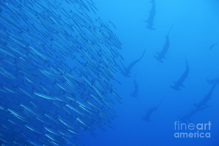 Animals In The Wild Photograph - Hammerhead Sharks By School Of Fishes by Sami Sarkis