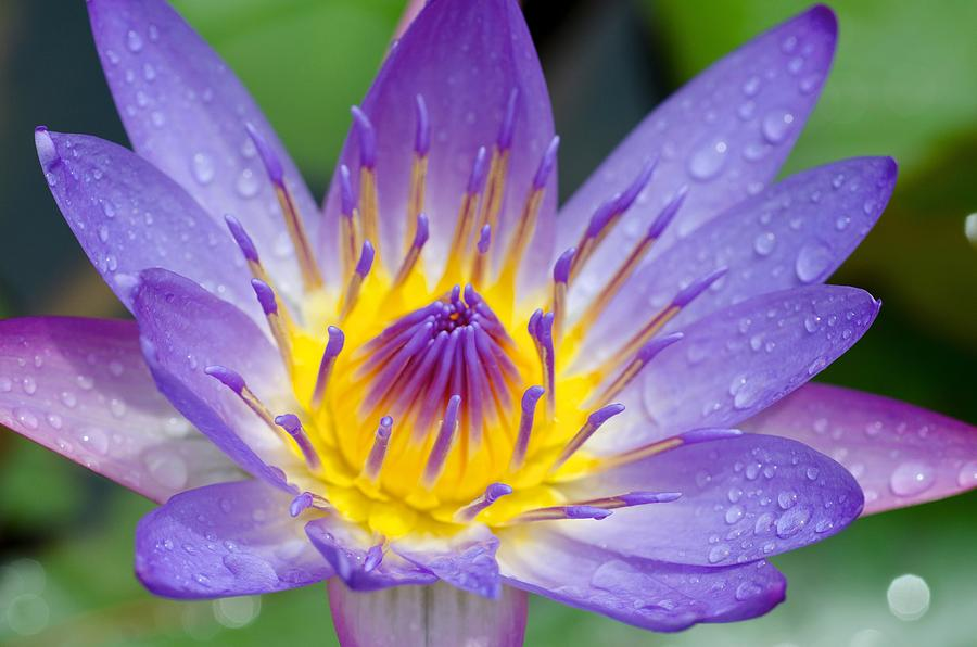 Maui Photograph - Hana Water Lily by Hawaii  Fine Art Photography