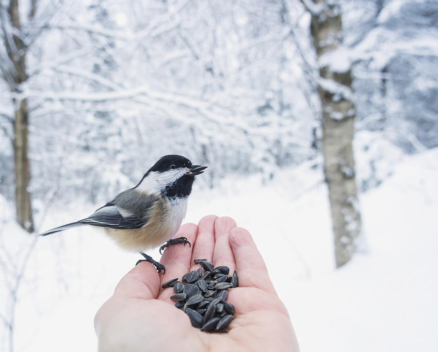 Canada Photograph - Hand Feeding A Black-capped Chickadee by Julie DeRoche