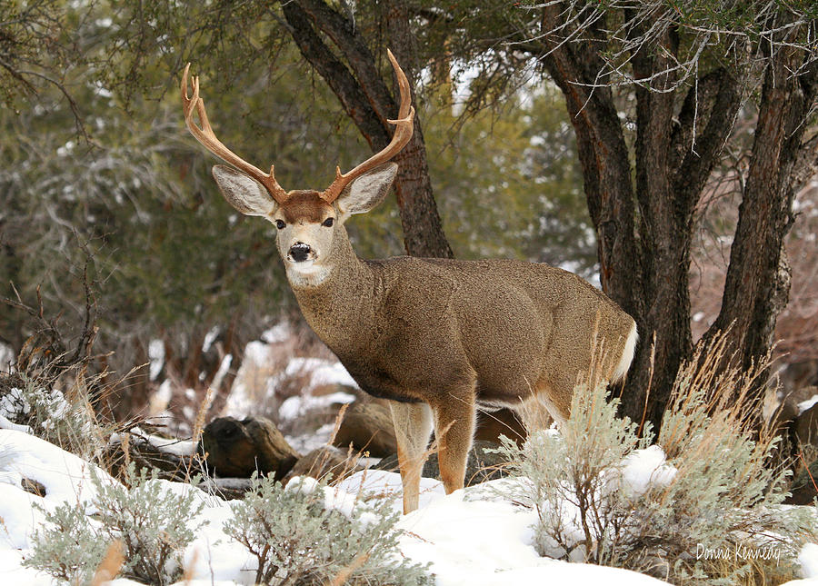 Mule Deer Photograph - Handsome Buck by Donna Kennedy
