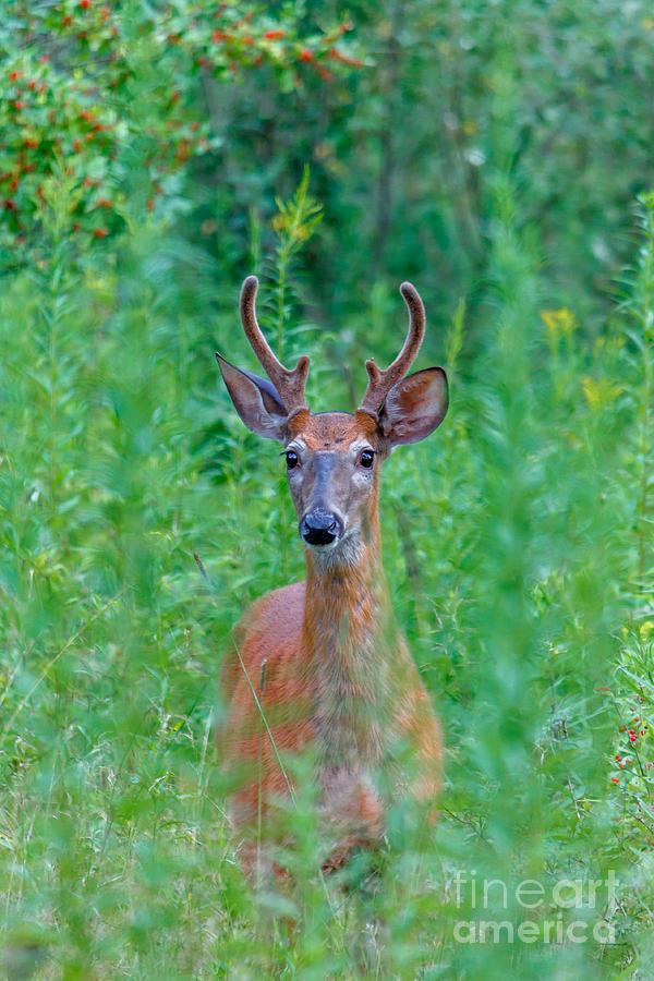 Handsome Buck Photograph