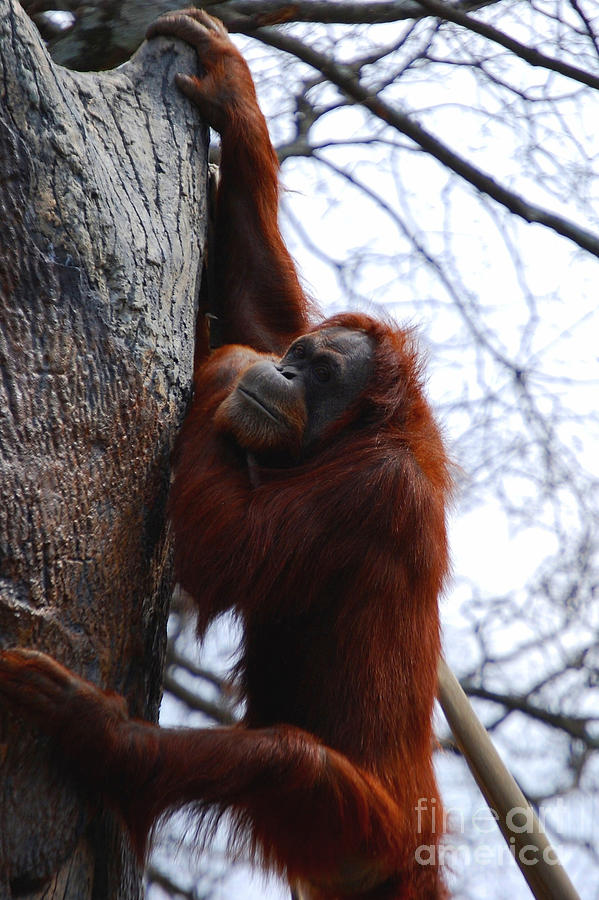 Orangutan Photograph - Hang In There by Nancy Bradley