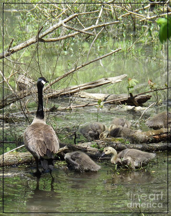 Canadian Goose Photograph - Hangin Out With Mom by Sara  Raber