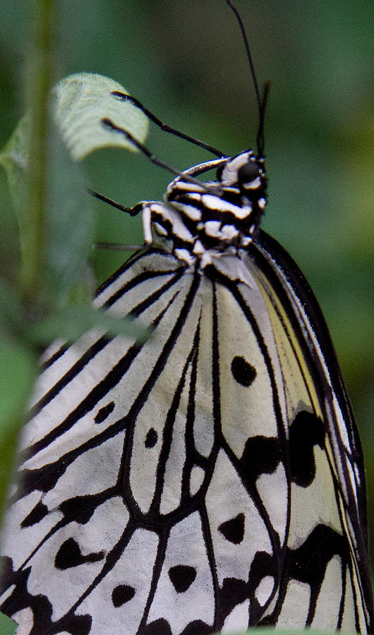 Butterfly Photograph - Hanging On by Natalie Rotman Cote