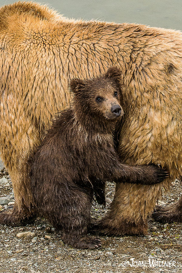 Alaska Photograph - Hanging onto mom by Joan Wallner