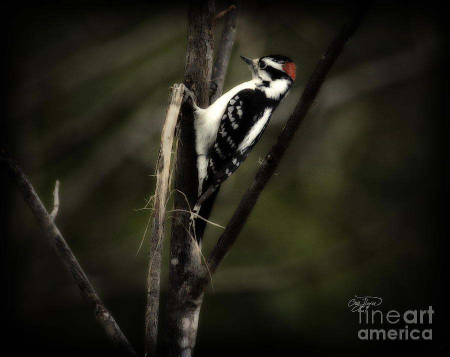 Woodpecker Photograph - Hanging Out by Cris Hayes