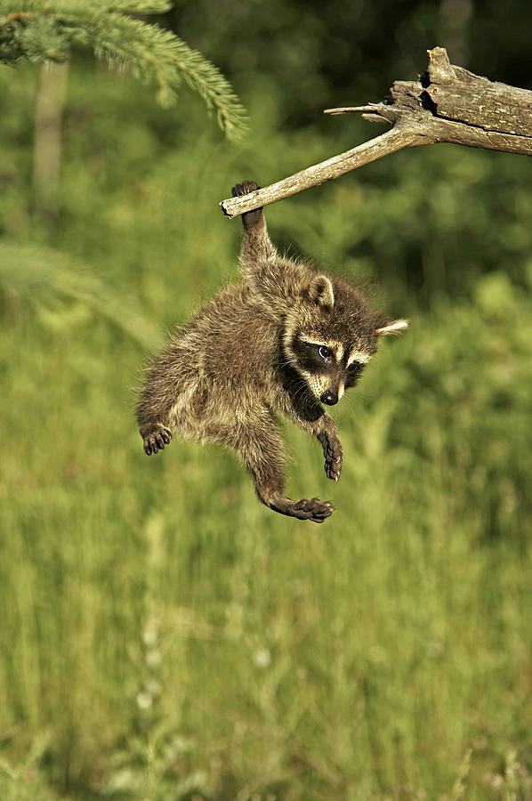 Raccoon Photograph - Hanging Out by Jack Milchanowski