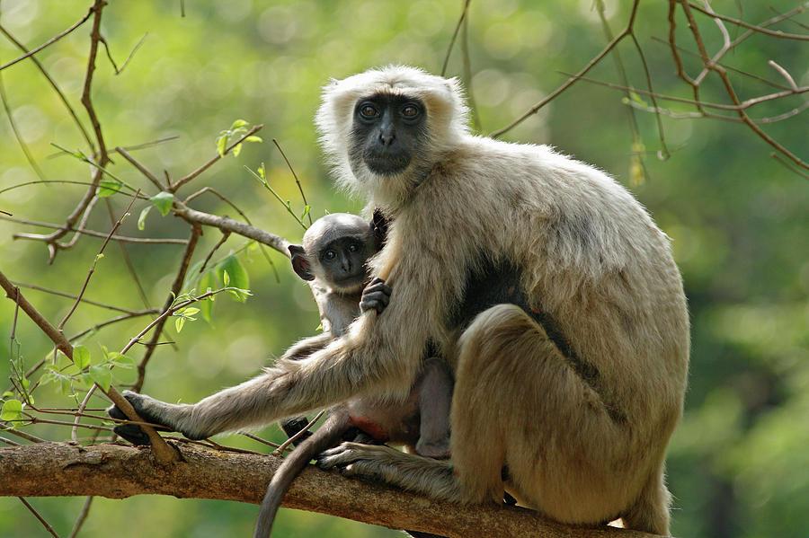 Adult Photograph - Hanuman Langoor And Young One,corbett by Jagdeep Rajput