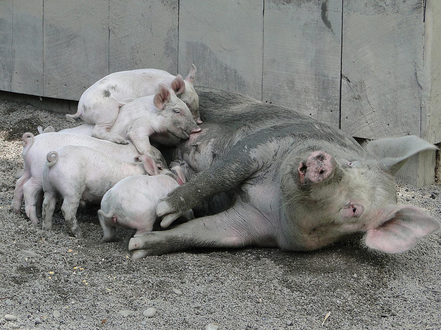 Farms Photograph - Happier Than Pig In Slop by David Simons