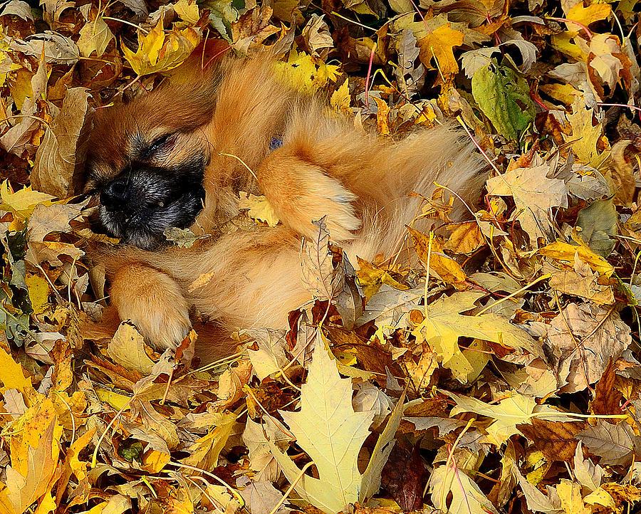 Pomeranian Photograph - Happiness Is A Fresh Pile Of Leaves by Joe Wicks