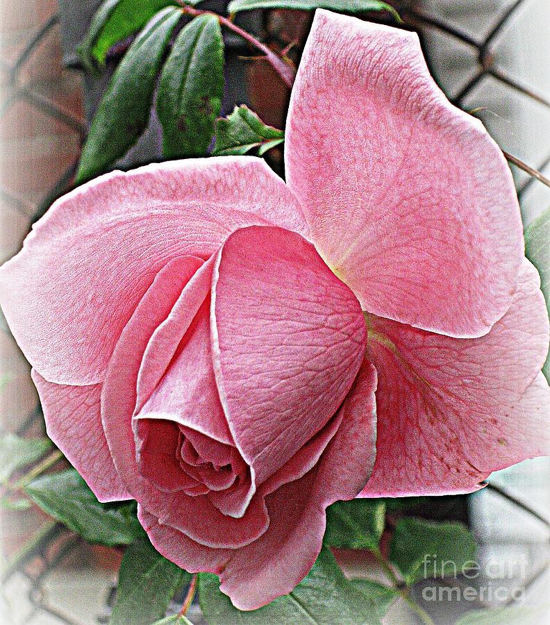 Rose Photograph - Happiness by Judy Palkimas