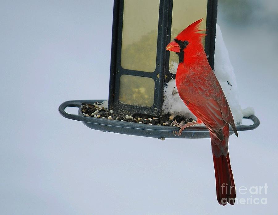 Cardinal Photograph - Happy Holidays by Joy Bradley