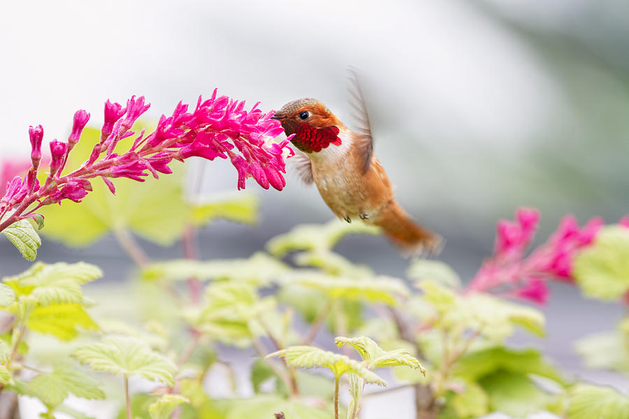 Rufous Hummingbird Photograph - Happy Hummer by Peggy Collins