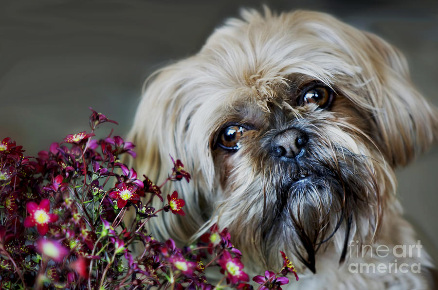 Shih Tzu Photograph - Happy Mothers Day by Nicole Markmann Nelson