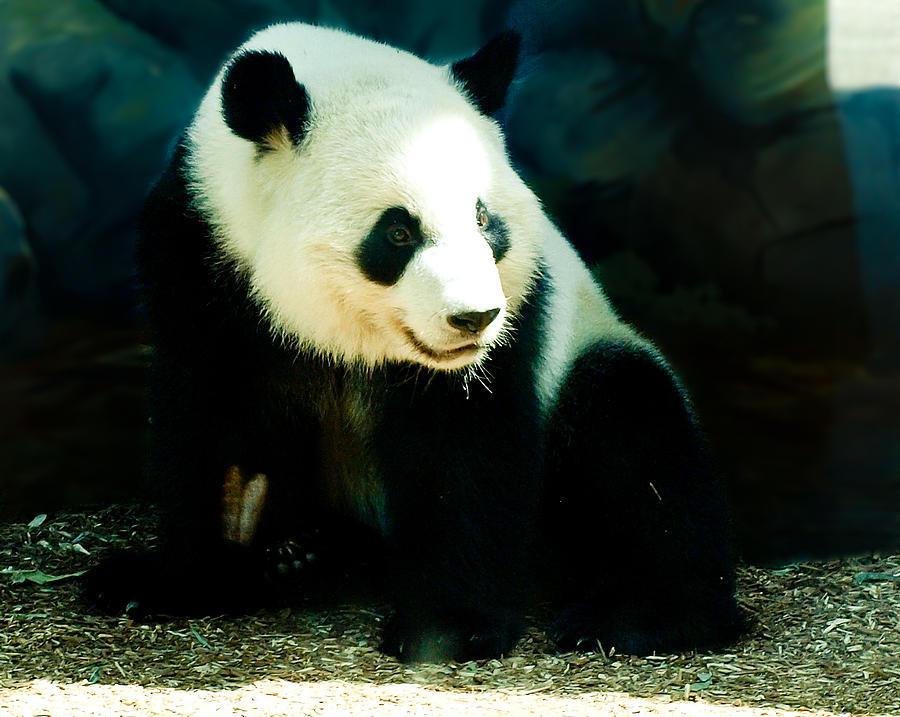 Panda Bear Photograph - Happy Panda by Paige Sims