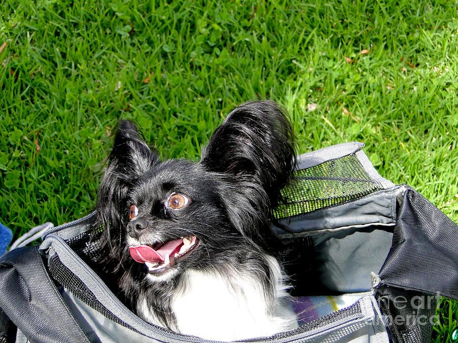 Dog Photograph - Happy Papillon In A Bag by Al Bourassa