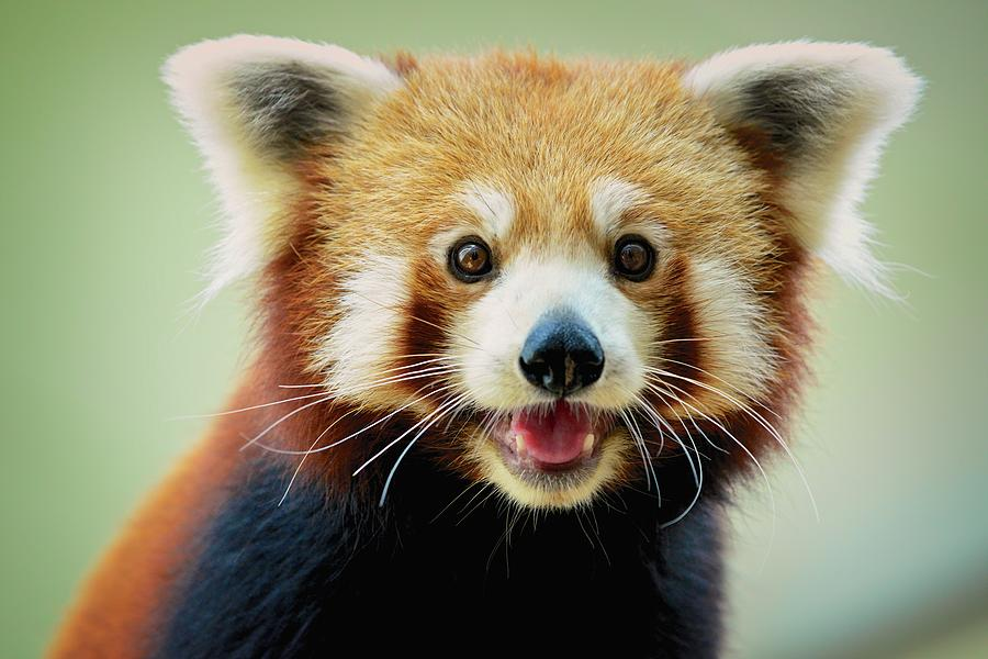 Happy Red Panda Photograph by Aaronchengtp Photography