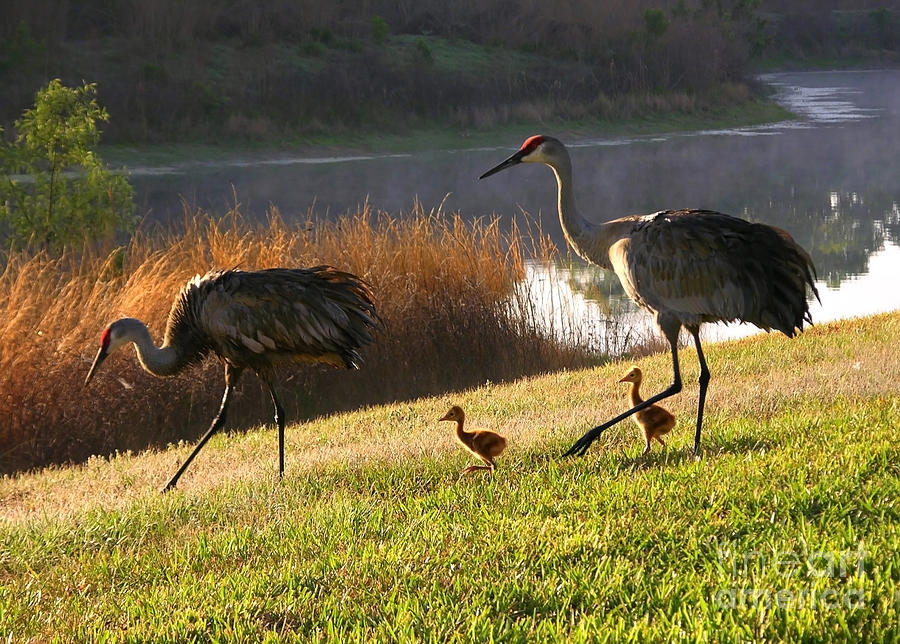 Sandhill Cranes Photograph - Happy Sandhill Crane Family by Carol Groenen