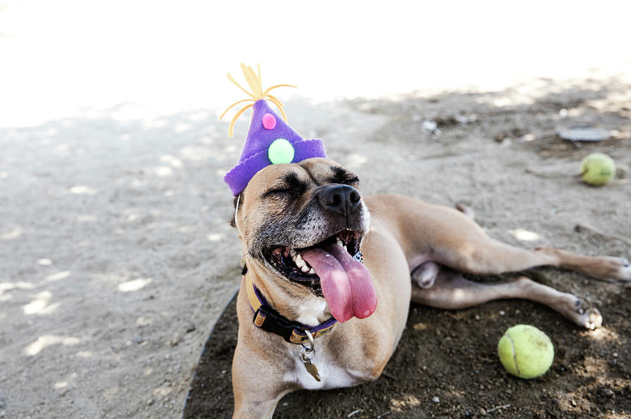 Happy Tripod Boxer Mix With A Birthday Photograph by Amandafoundation.org