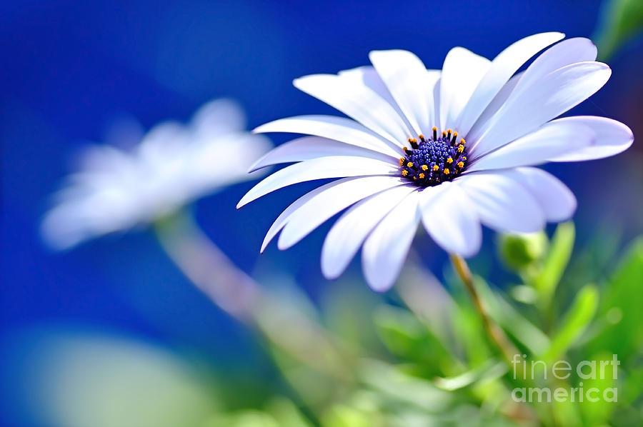 Photography Photograph - Happy White Daisy 2- Blue Bokeh  by Kaye Menner