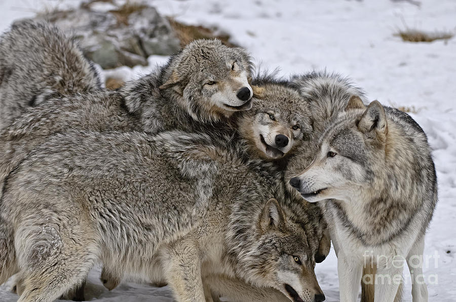 Happy Wolf Pack Photograph By Wolves Only
