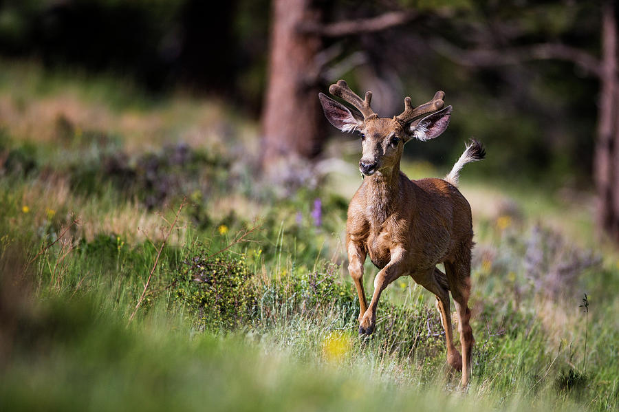 Deer Photograph - Happyyyyyyy... by Verdon