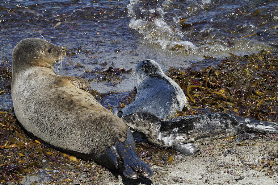 Harbor Seal Photograph - Harbor Seal Nursing by George Oze