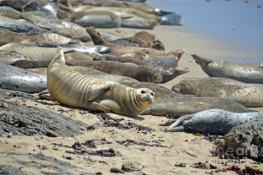 Harbor Seals Photograph - Harbor Seals Lounging On The Beach At Fitzgerald Reserve by Jim Fitzpatrick