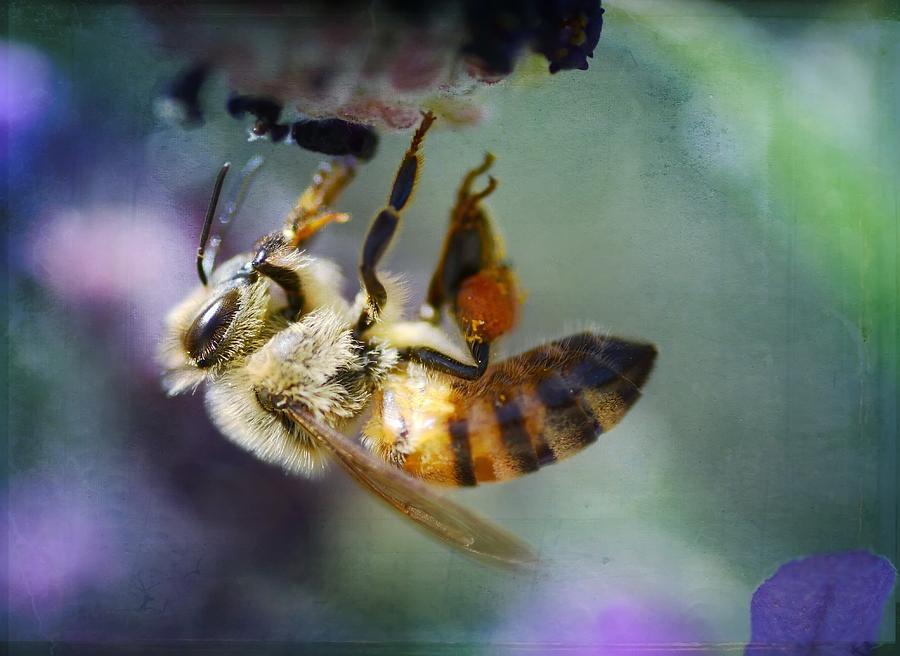 Honey Bee Photograph - Hard Days Work by Fraida Gutovich