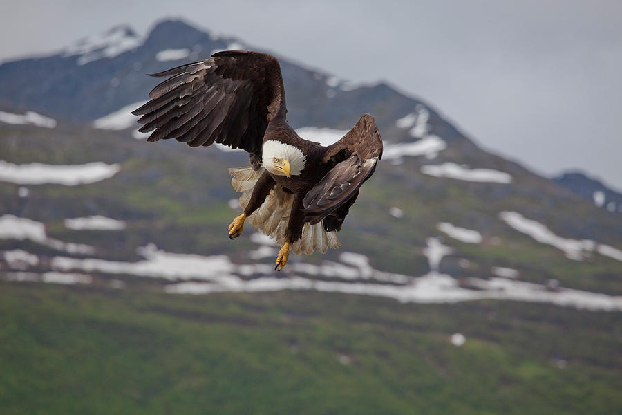Bald Eagle Photograph - Hard Left Trun by Tim Grams