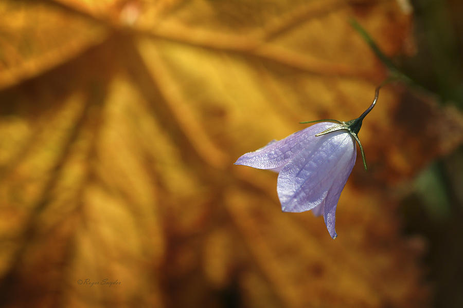 Indigo Photograph - Hare Bell And Gold Leaf by Roger Snyder
