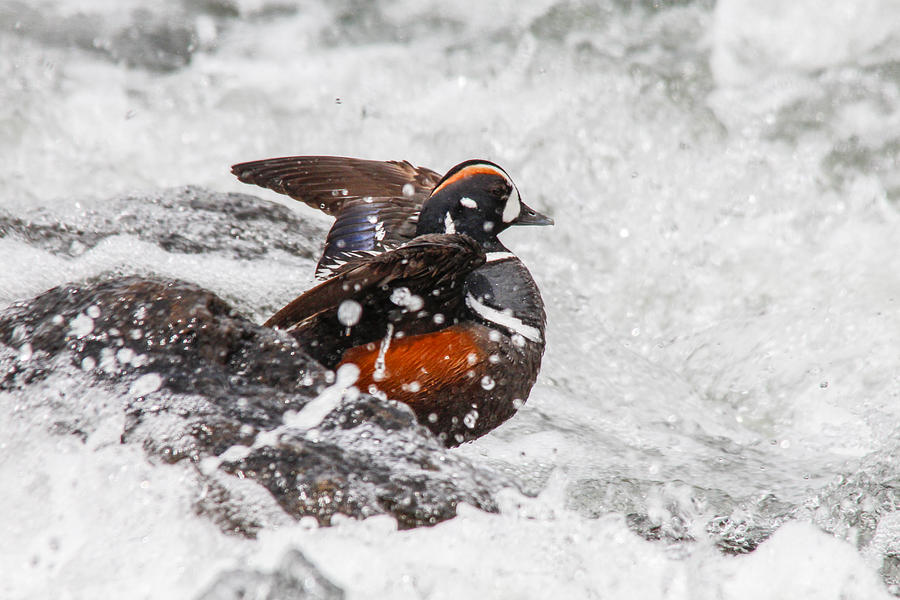 Duck Photograph - Harlequin In The Rapids by Jill Bell