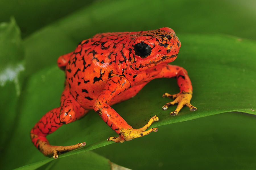 Harlequin Poison Dart Frog Colombia Photograph by Thomas Marent