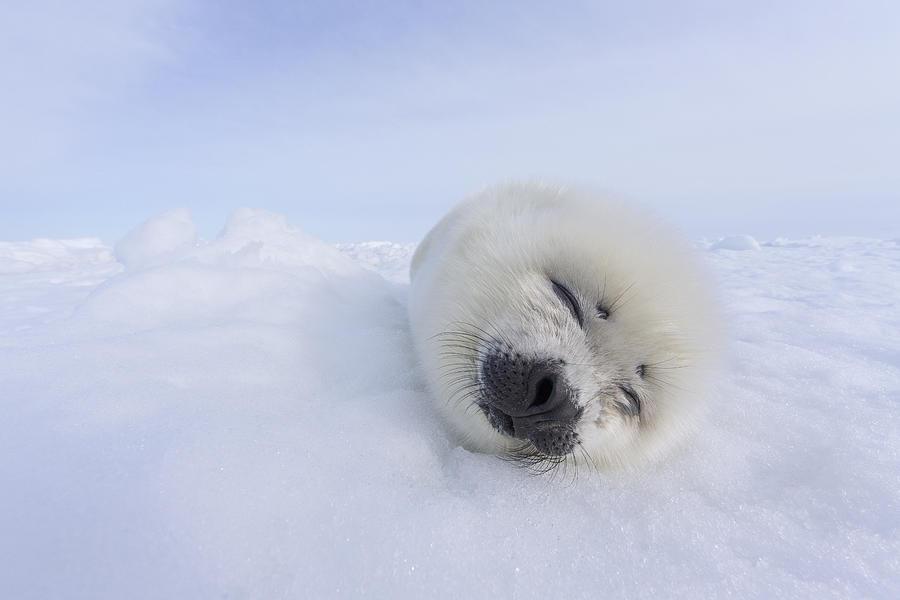 Harp Seal Pup Sleeping Gulf Of St Photograph by Ingo Arndt
