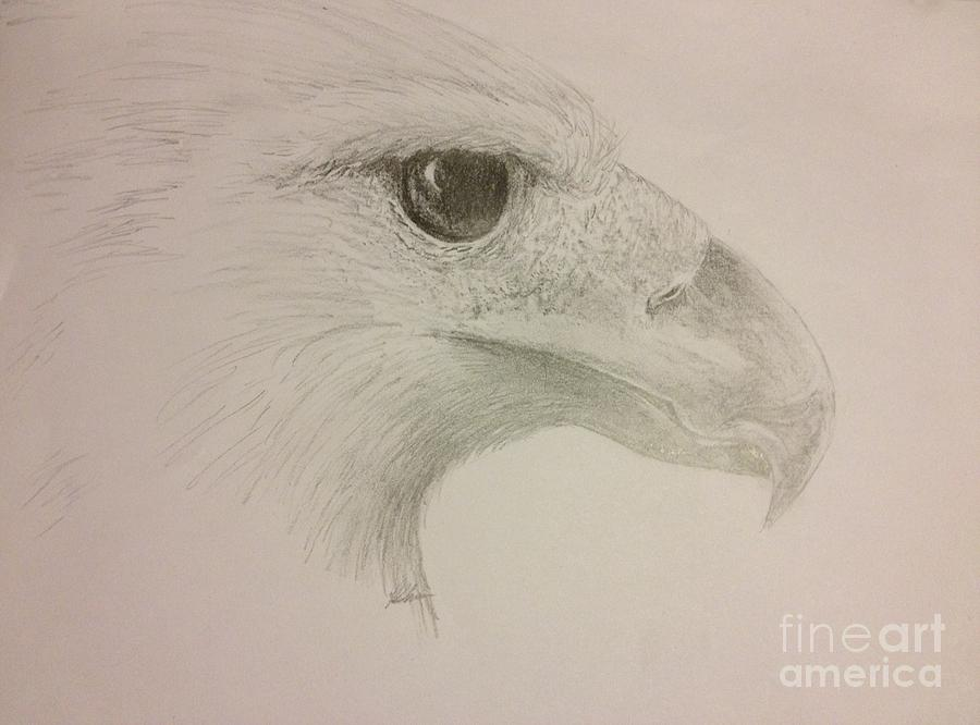 Harpy Eagle Drawing - Harpy Eagle Study by K Simmons Luna