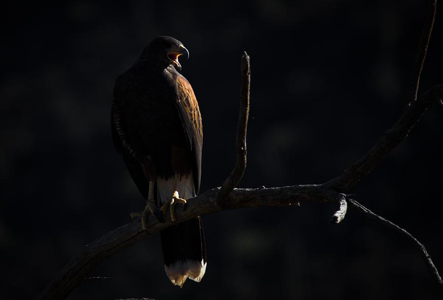 Bird Photograph - Harris Hawk Call by Swift Family