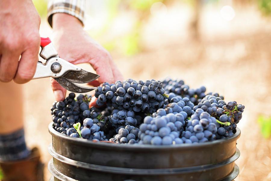 Harvest Photograph - Harvest At Vineyard In Santa Cruz by Clay McLachlan