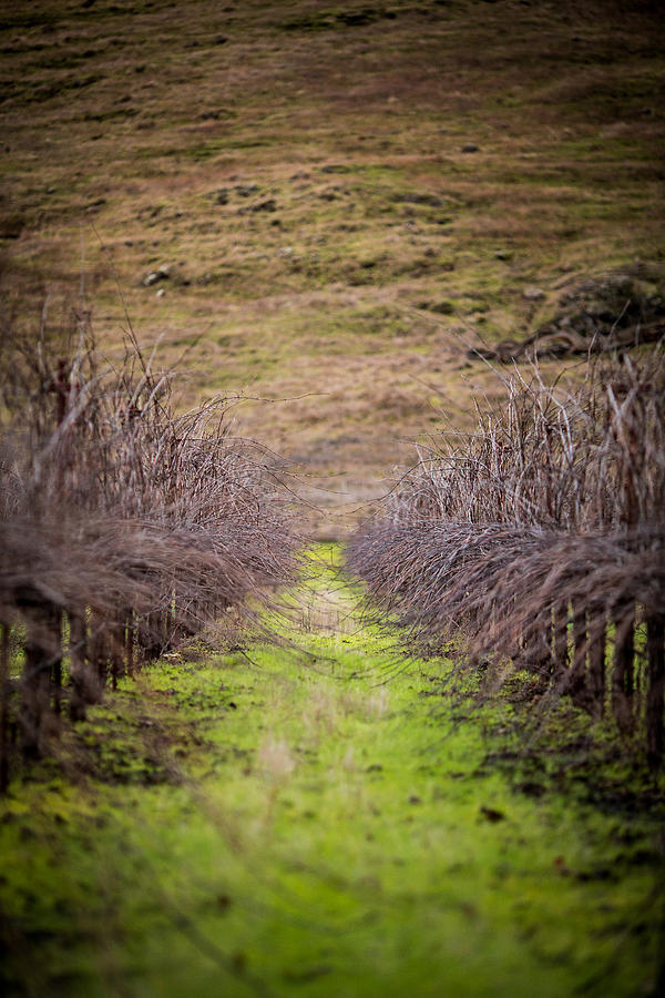 Vineyard Photograph - Harvested Vines by Mike Lee