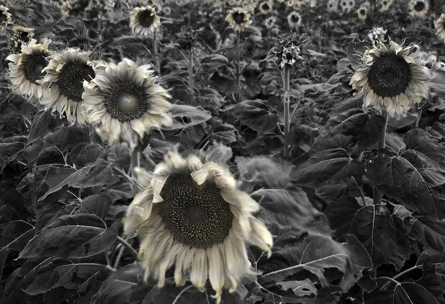 Black Photograph - Haunting Sunflower Fields 2 by Dave Dilli