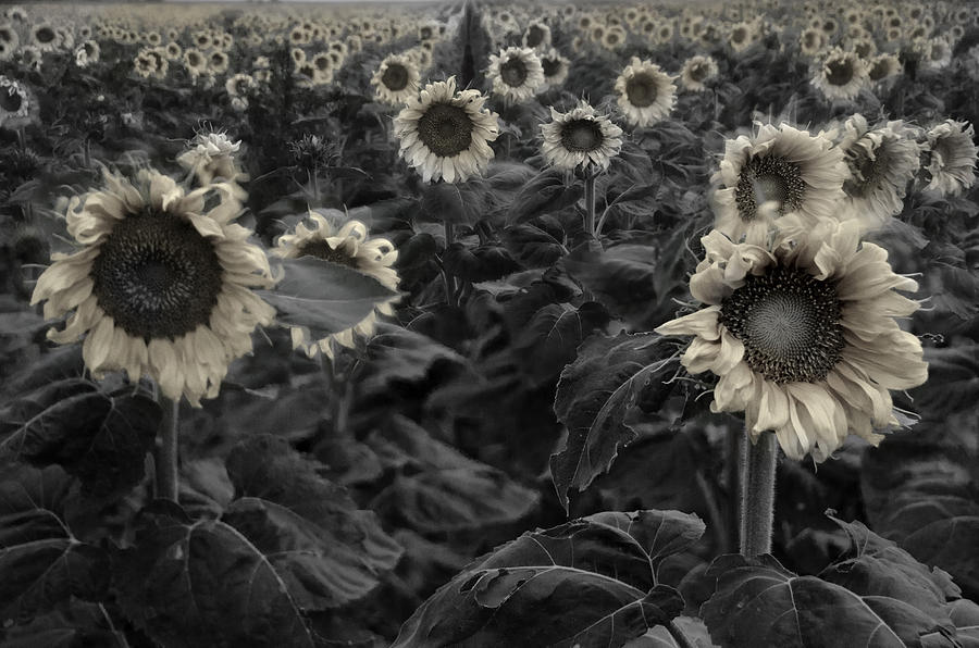 Ghostly Photograph - Haunting Sunflowers Field 3 by Dave Dilli