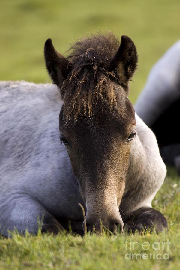 Pony Photograph - Having A Nap by Angel  Tarantella