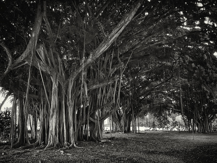 Banyan Photograph - Hawaiian Banyan Tree Root Study by Daniel Hagerman