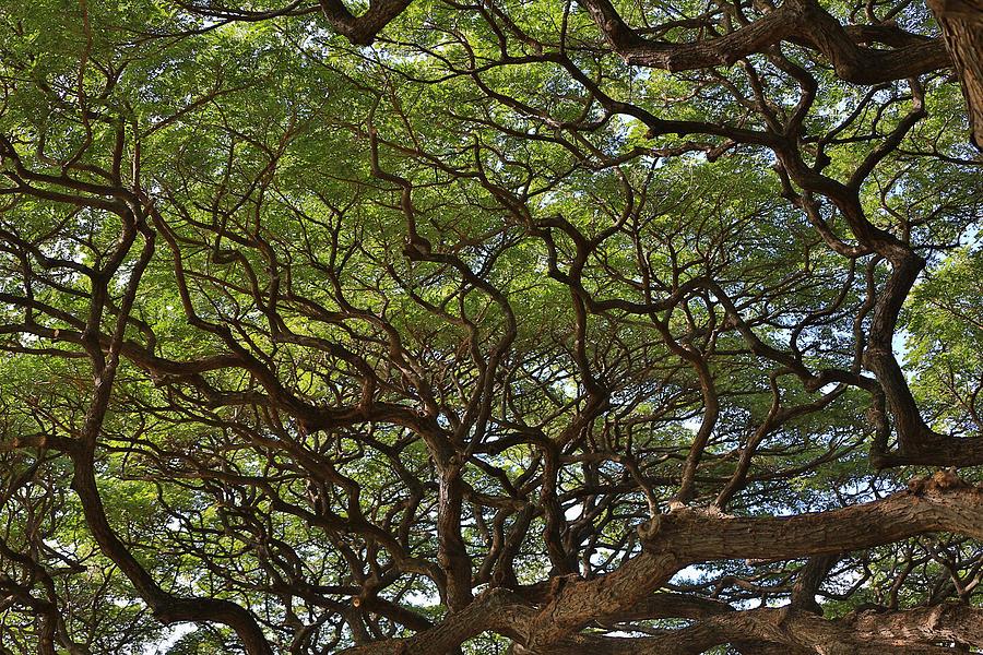 Banyan Tree Photograph - Hawaiian Banyan Tree by Sam Amato