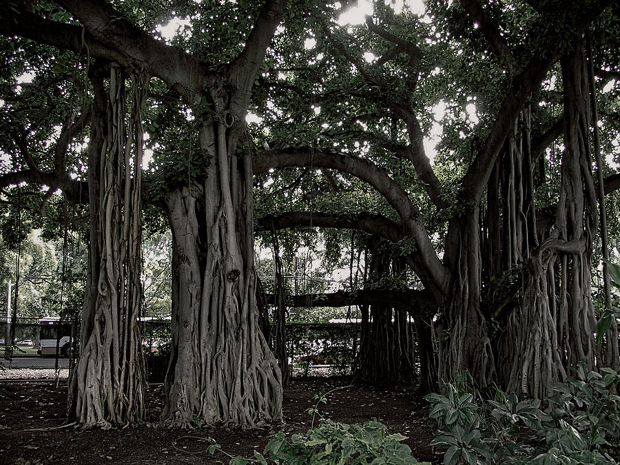 Banyan Photograph - Hawaiian Banyan Trees by Daniel Hagerman