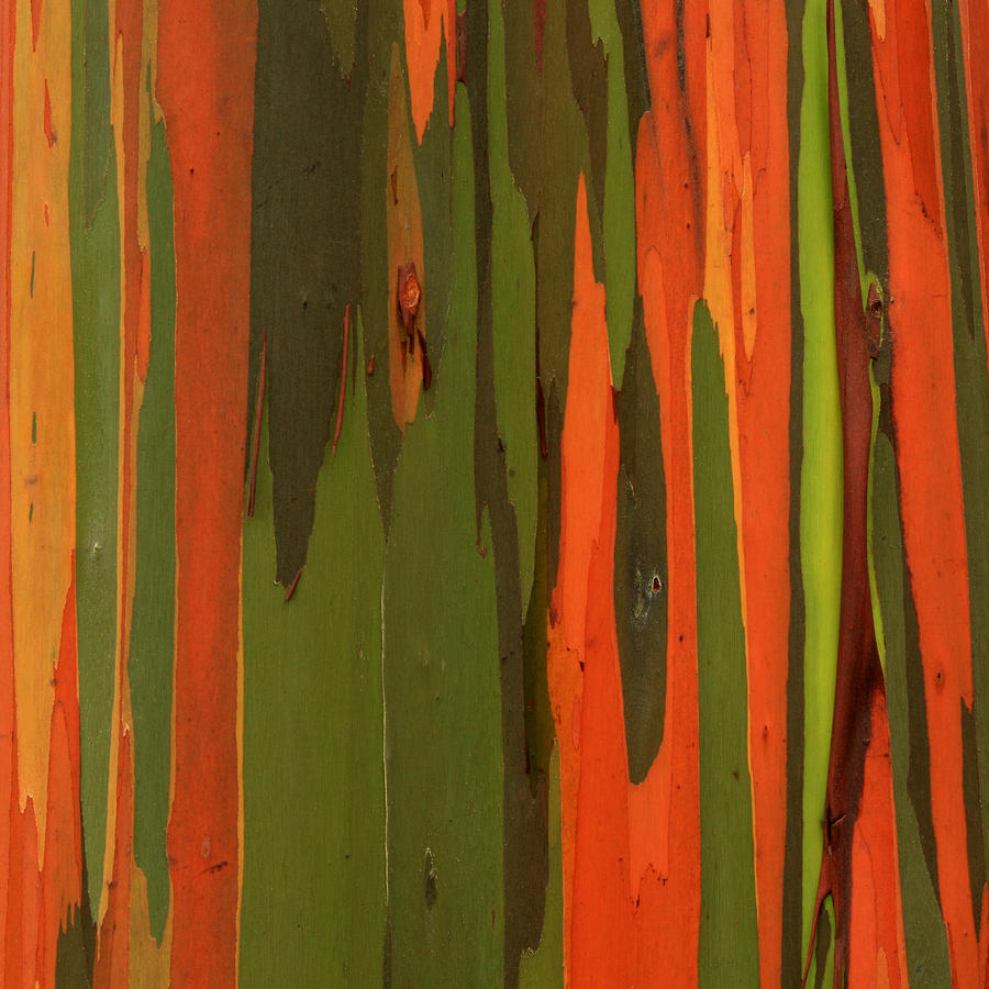 Eucalyptus Photograph - Hawaiian Eucalyptus by James Eddy